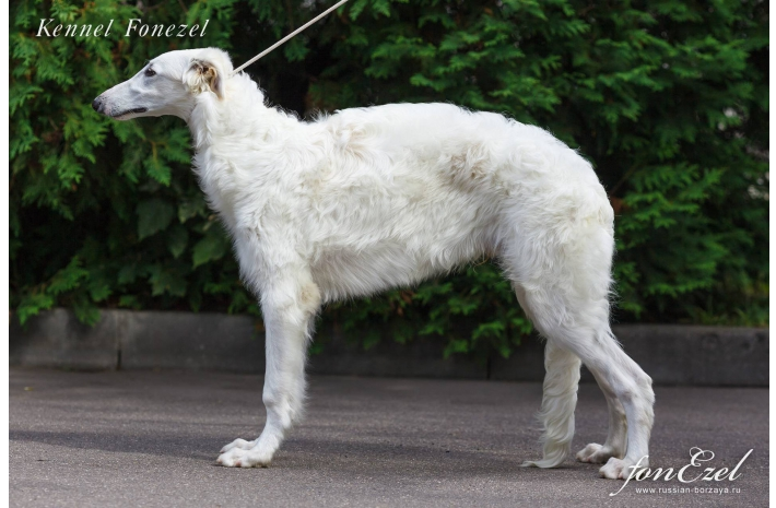 AVAILABLE FOR SALE! Puppies of Russian borzoi for show, coursing and soul.