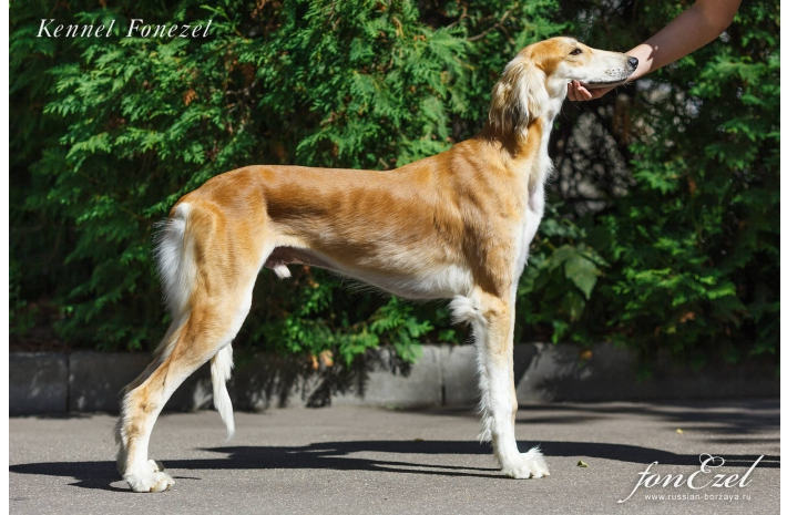 AVAILABLE FOR SALE! Beautiful puppies of Persian Greyhound (Saluki), male, 8 months old (SHOW CLASS)
